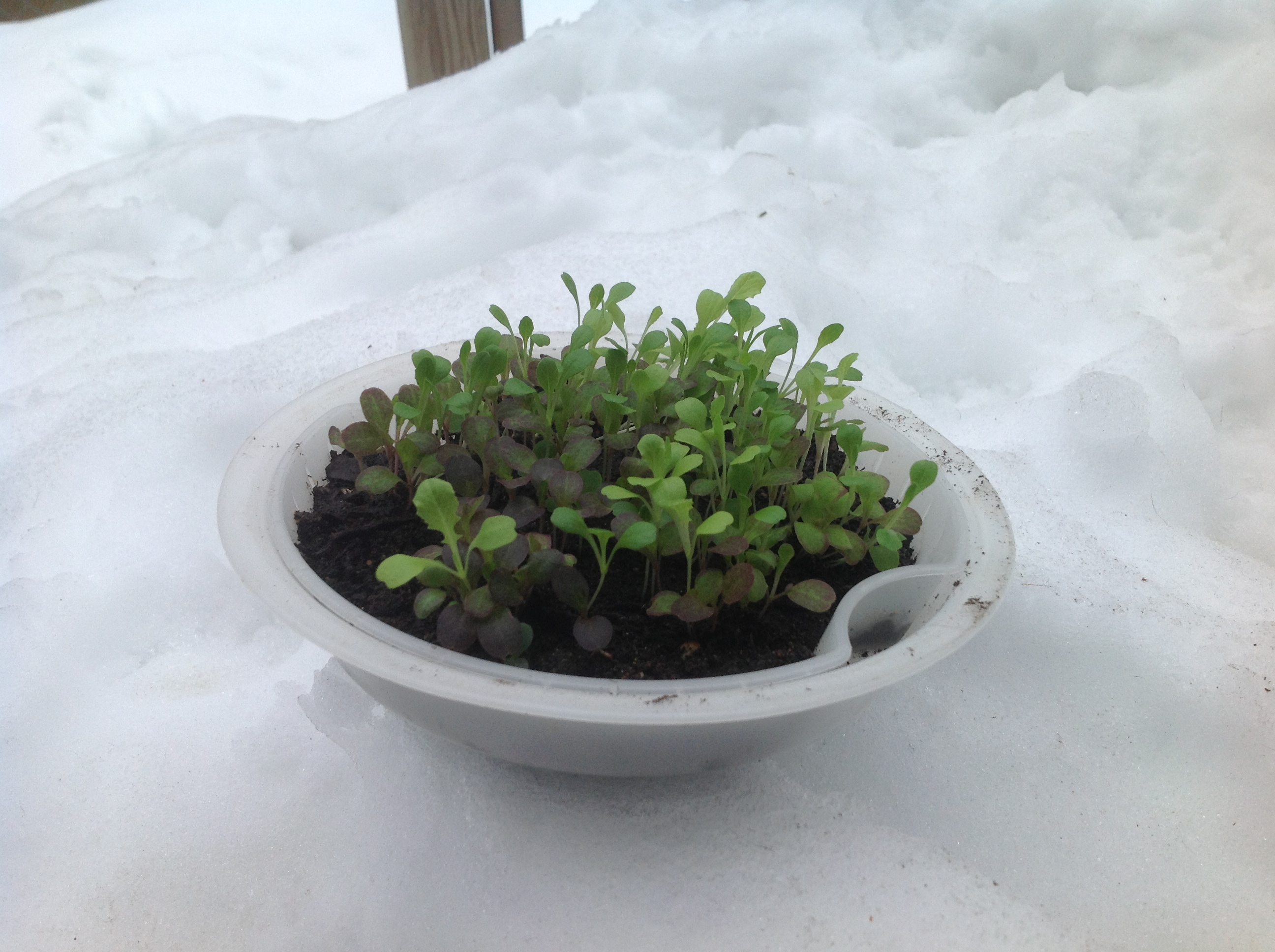 Lettuce in the steamer sitting on the snow